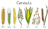 13865808-cereals-hand-drawn-illustration--wheat-barley-rye-millet-oat-rice-maize